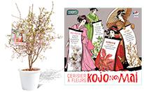 Prunus KOJO NO MAI  P6L - Copie